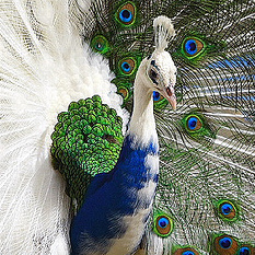 white-blue-peacock-cropped